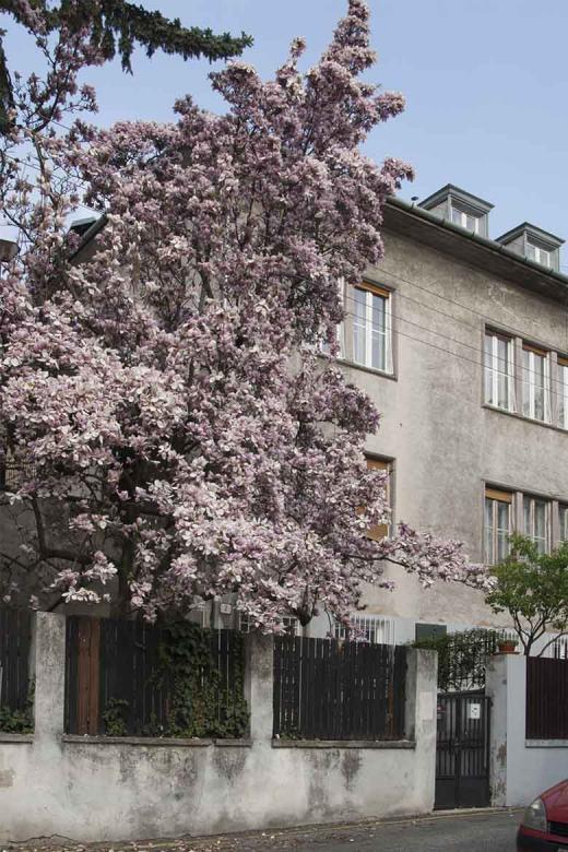 Múzeum Janka Jesenského s rozkvitnutou magnóliou